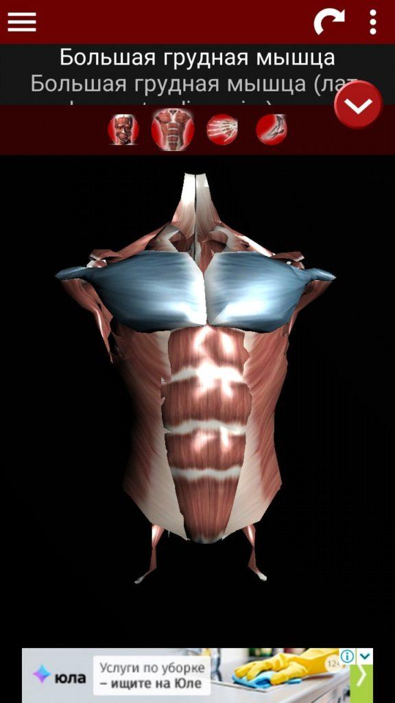 Muscles 3D мышцы туловища
